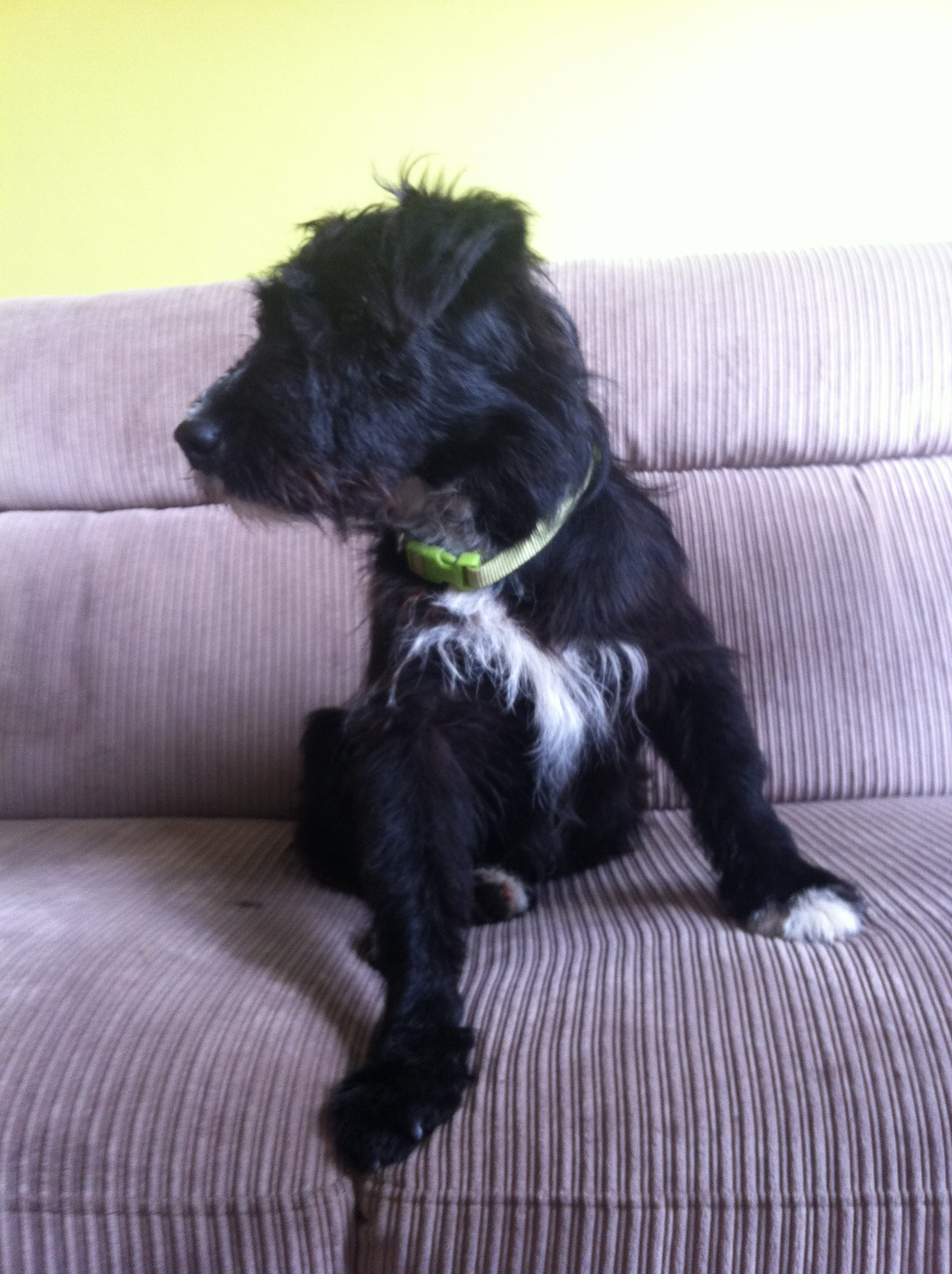 Bono The Patterdale X Terrier Needs A New Home Dawg