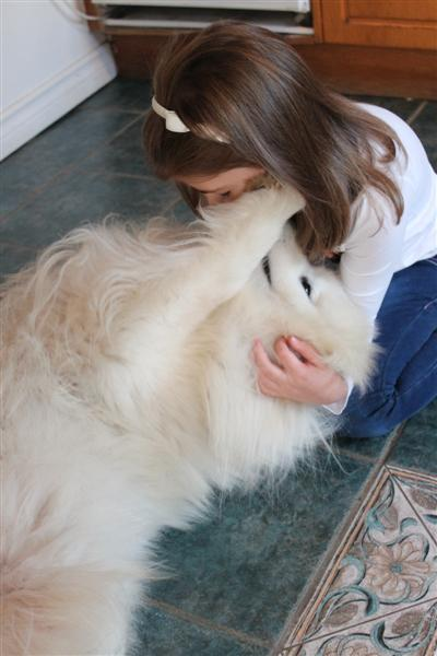 Ricco the Samoyed needs a new home - DAWG