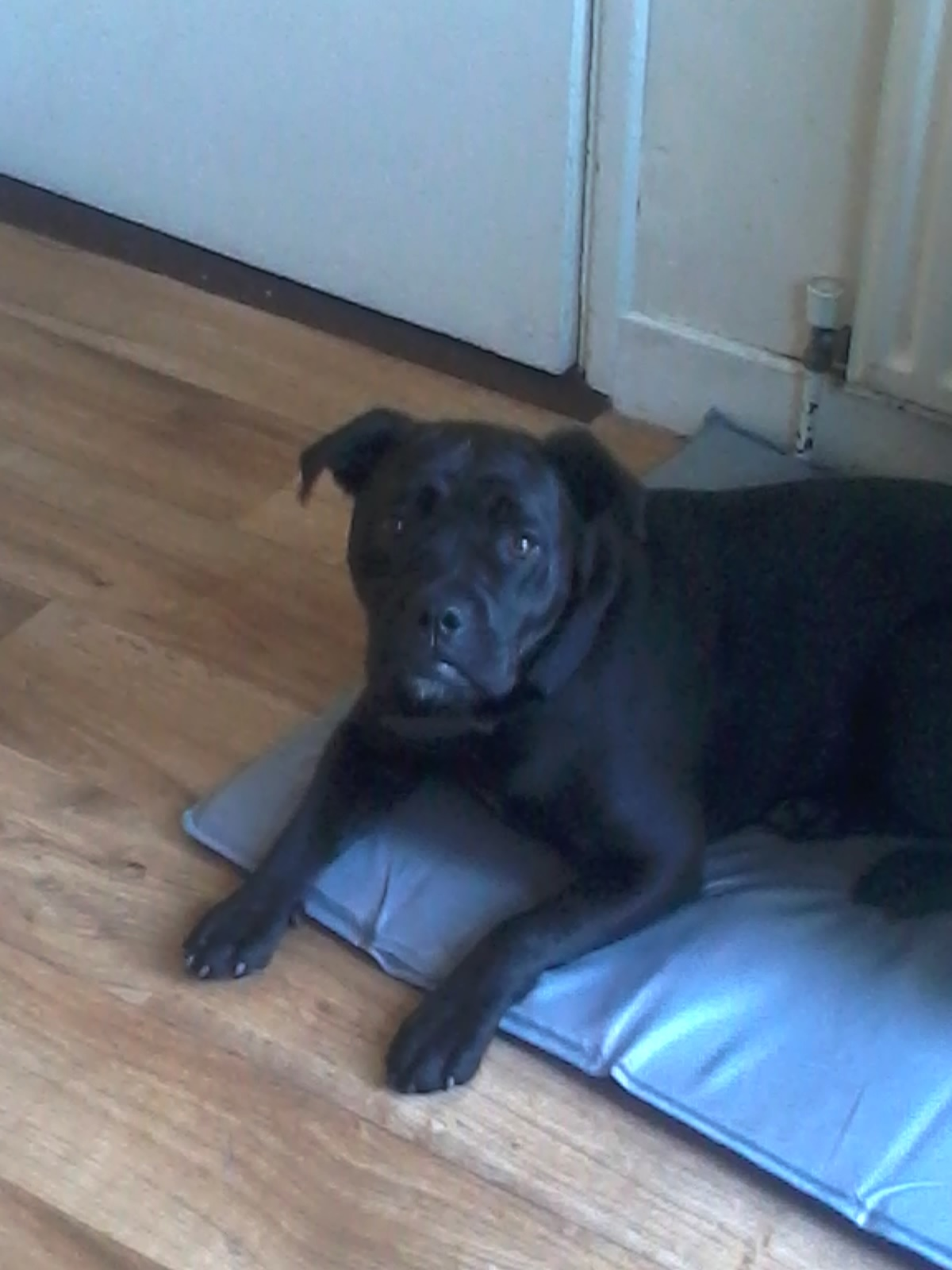 Belle The English Bulldog Lab X Needs A New Home Dawg