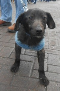 trigger the patterdale x