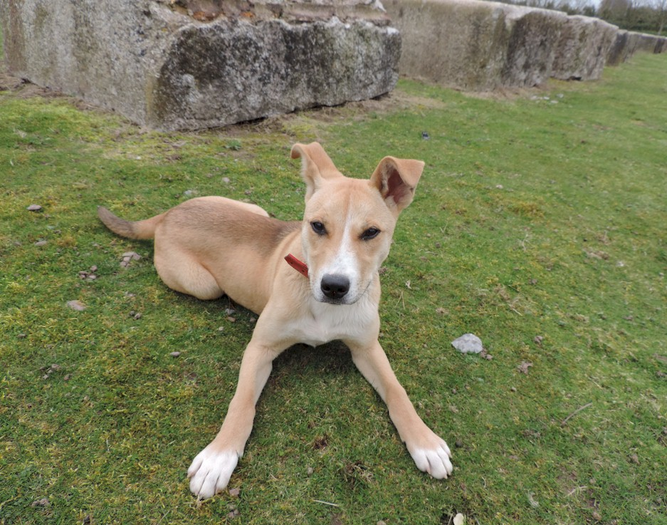 Lola The Lab Staffie Collie X Needs A New Home Dawg