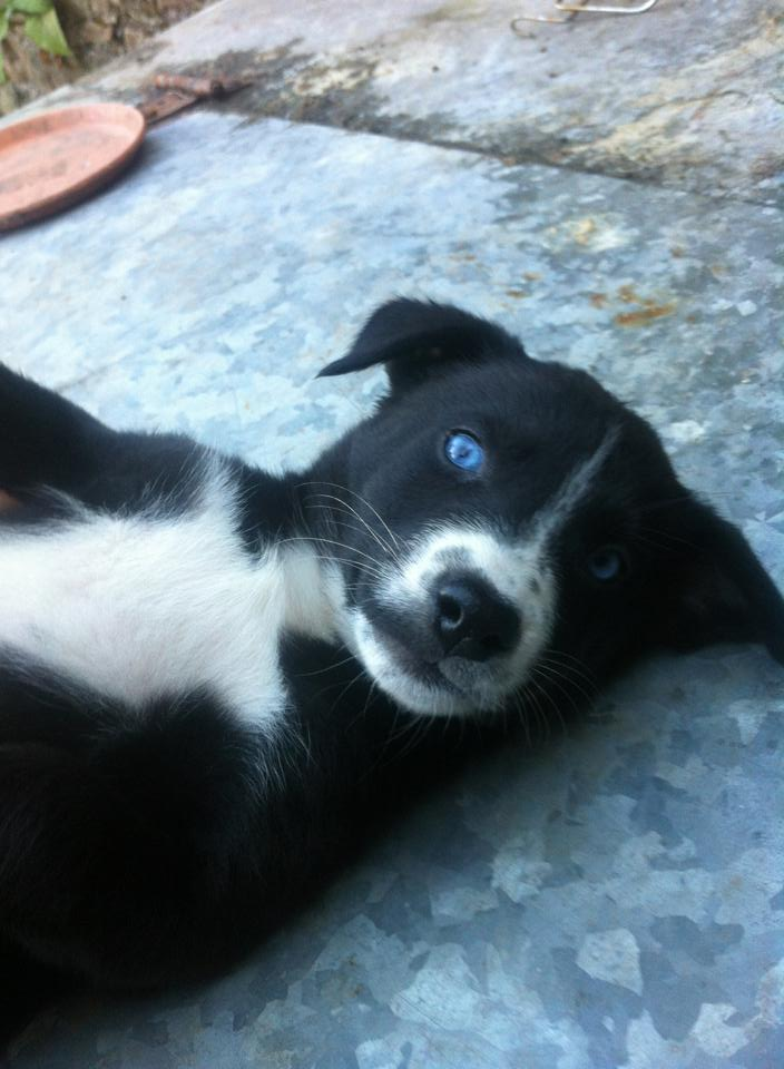 Husky Collie X Puppies Needs A New Home Dawg