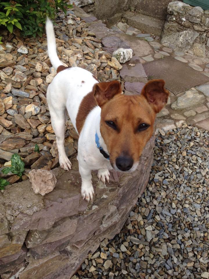 Captain The Mini Jack Russell Needs A New Home Dawg