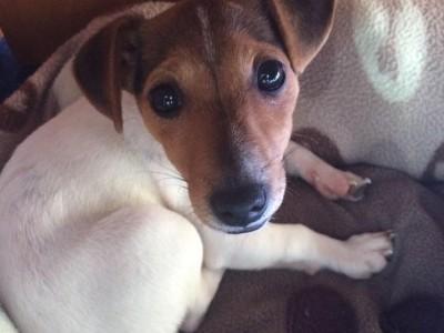 Petal the terrier x pup