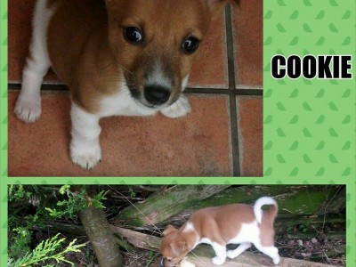 cookie the jr x pup