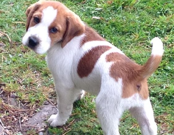 Elsa the beagle terrier x pup needs a new home - DAWG