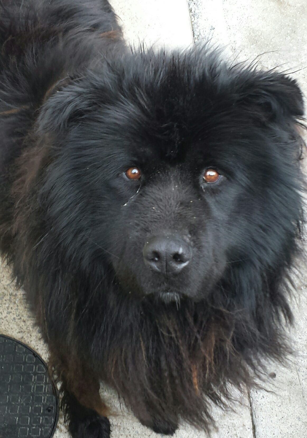 Louis The Husky Newfoundland X Needs A New Home Dawg