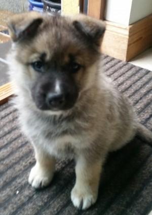 A Beagle Puppy Fluffy the german shep...