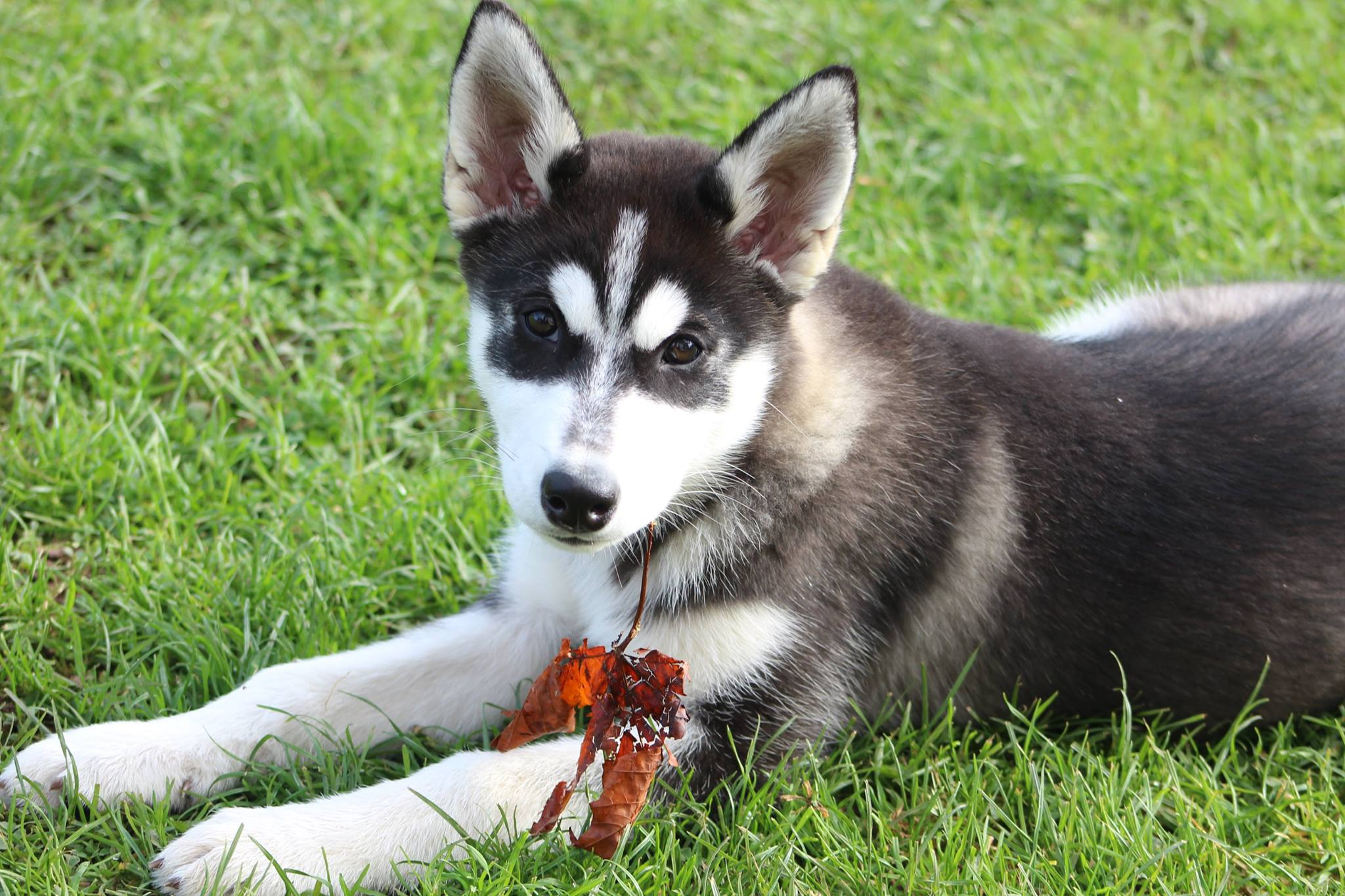 Storm The Husky Pup Needs A New Home Dawg