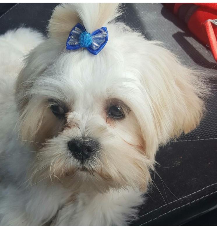 Maltese Dog Needs New Home