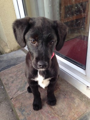 Suzie The Springer Lab X Pup Needs A New Home Dawg