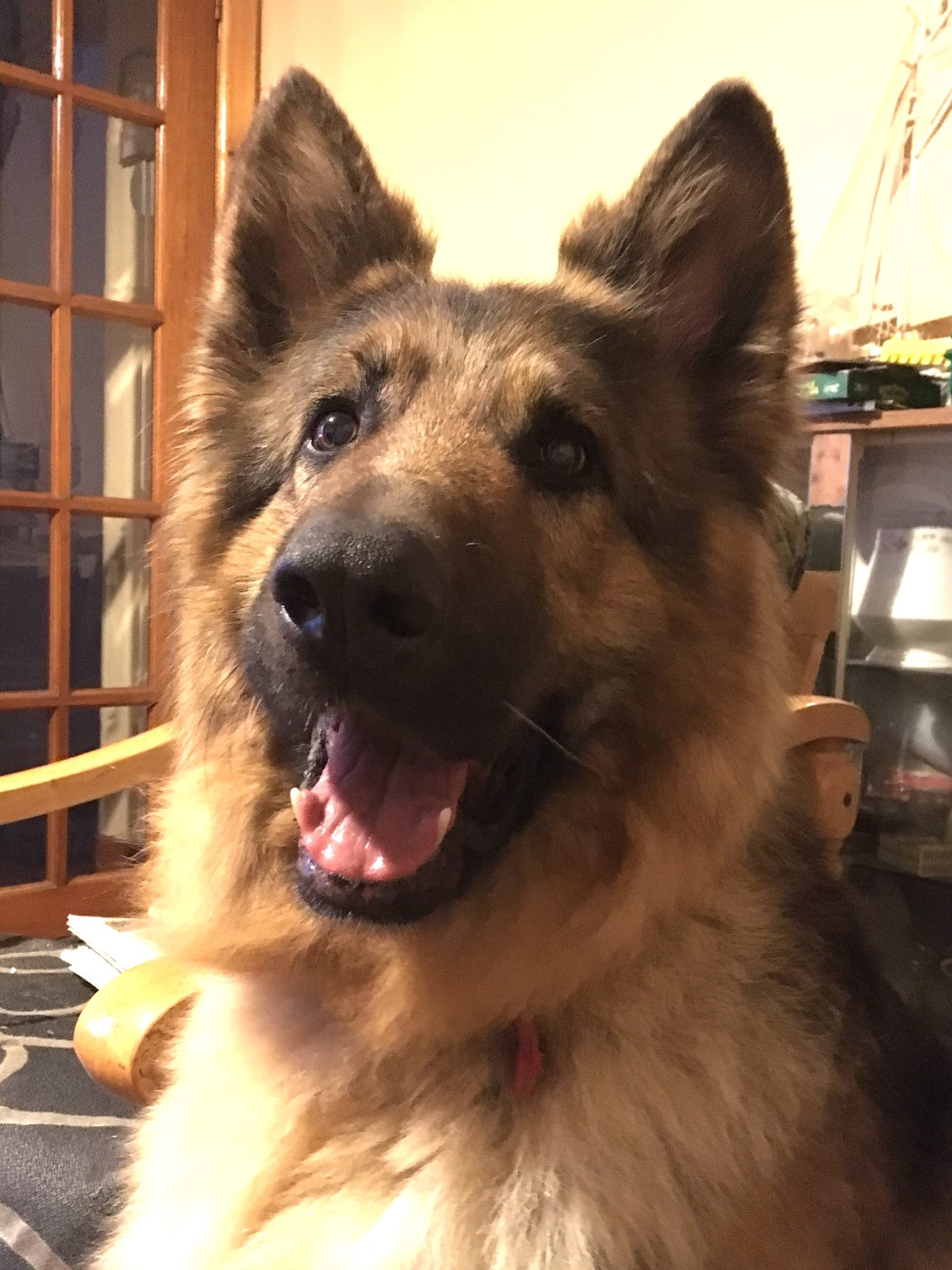 Rogue The German Shepherd Needs A New Home Dawg