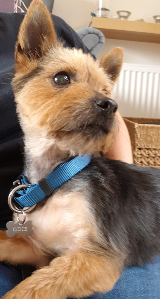 Odie The Yorkie Needs A New Home Dawg