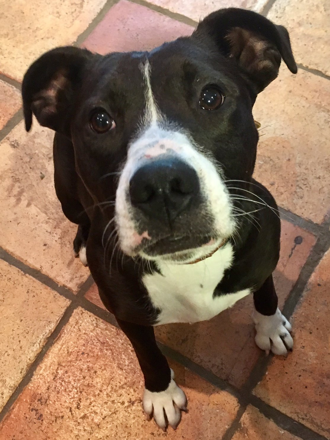 Casey The Staffie X Needs A New Home Dawg