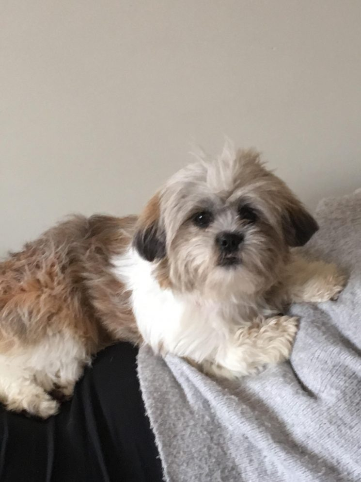 Lily The Shihtzu X Needs A New Home Dawg