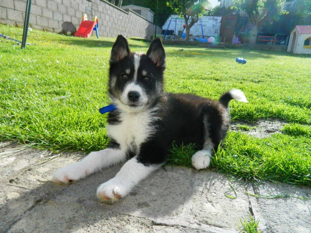 Mika The Husky X Needs A New Home Dawg