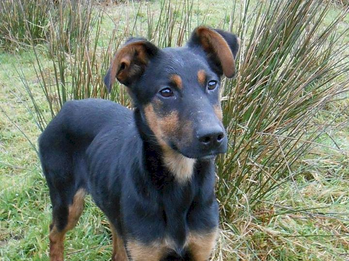 Bruce The Doberman X Puppy Needs A New Home Dawg