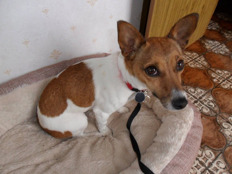 Daisy the miniature jack russell needs a new home - DAWG
