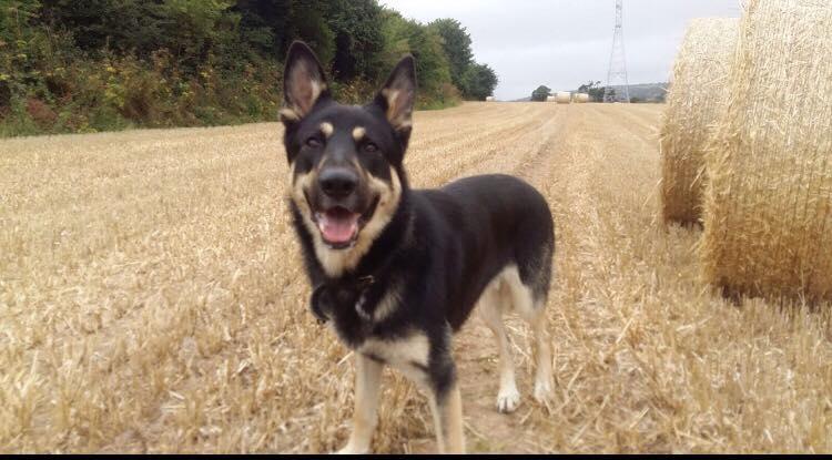 1 Year Male German Shepherd Dog Cross Labrador: Bear The German Shepherd Needs A New Home